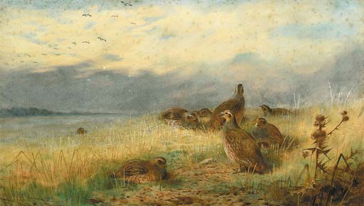 Archibald Thorburn >> A Covey Of Partridge In The Stubble, With Lapwings Flying Overhead  |  (Watercolor, artwork, reproduction, copy, painting).