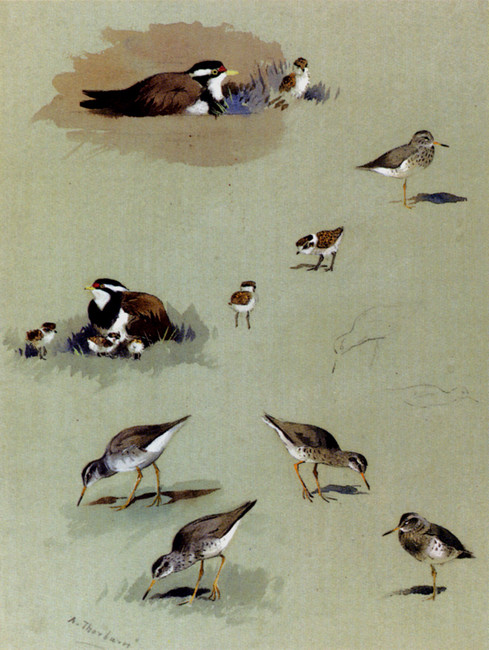 Archibald Thorburn >> Study Of Sandpipers, Cream-Coloured Coursers And Other Birds  |  (Watercolor, artwork, reproduction, copy, painting).
