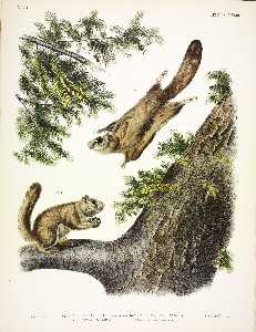 1. Pteromys sabrinus, Severn River Flying Squirrel; 2. Pteromys alpinus, Rocky Mountain Squirrel