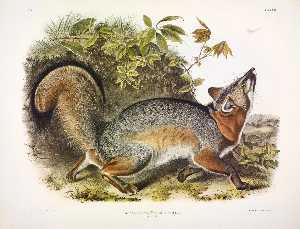 Canis (Vulpes) Virginianus, Grey Fox