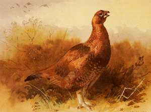 Cock Grouse