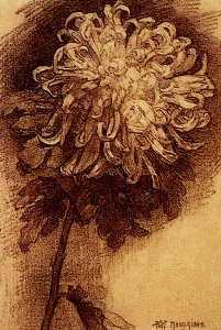 chrysanthemum 1