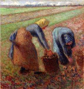potato harvest.