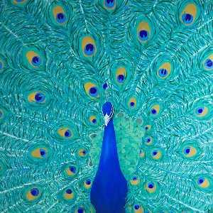 Orientation Panel Peacock