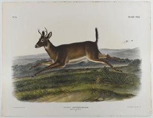 Long-Tailed Deer
