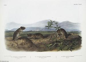 1. Arvicola Townsendii, Townsend's Arvicola; 2. Arvicola nasuta, Sharp-nosed Arvicola. Natural size. 3. Mus riparius, Bank Rat. Natural size