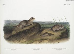 1. Spermophilus Townsendii, American Souslik. Male. Natural size; 2. Arvicola Oregoni, Oregon Meadow-Mouse. Male. Natural size; 3. Arvicola Texiana, Texan Meadow Mouse. Male. Natural size.
