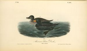 American Scoter Duck. 1. Male. 2. Female