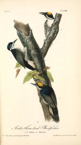 Arctic three-toed Woodpecker. 1. 2. Males. 3. Female