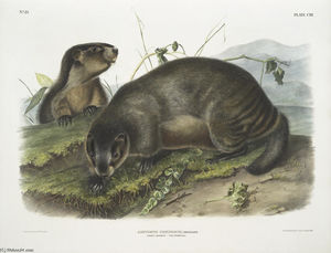 Arctomys pruinosus, la marmotte - Le Whistler