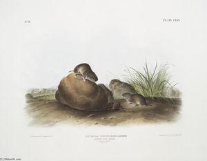 Arvocola pinetorum, Lecontes Pine Mouse