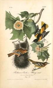 Baltimore Oriole, or Hang-nest. 1. Male adult. 2. Young Male. 3. Female. (Tulip Tree)