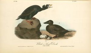 Black or Surf Duck. 1. Male. 2. Female