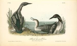 Black-throated Diver. 1. Male. 2. Female. 3. Young in October
