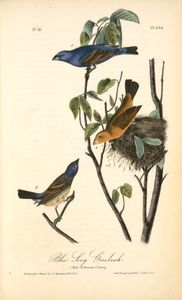Blue Song Grosbeak. 1. Male. 2. Female. 3. Young