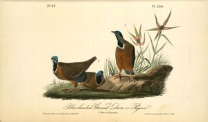 Blue-headed Ground Dove or Pigeon. 1. Male. 2. Females