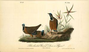 Blue-headed paloma ground o paloma . 1 . Hombre . 2 . Las hembras