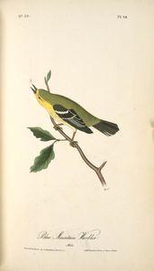 Blue-Mountain Warbler. Male.