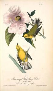 Blue-winged Yellow Swamp-Warbler. 1. Male. 2. Female. (Cotton Rose. Hibiscus grandiflorus.)