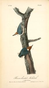 Brown-headed Nuthatch. 1. Male. 2. Female