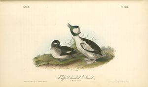 Buffel-headed Duck. 1. Male. 2. Female