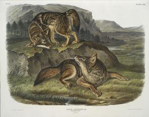 Canis latrans, Prairie Wolf. Males