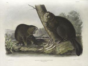 Castor fiber Americanus, American Beaver