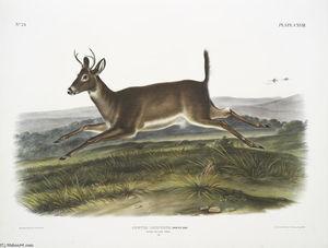 Cervus leucurus, Long-tailed Deer. Male