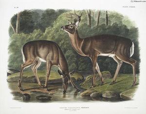 Cervus Virginianus, Common or Virginian Deer. Old male & female