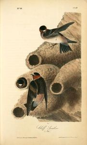 Clif Swallow. (Nests)