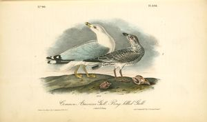 Common American Gull.-- Ring-billed Gull. 1. Adult. 2. Young