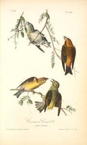 Common Crossbill. 1. Males. 2. Females.