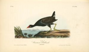 Common Gallinule. Adult Male