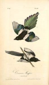 Common Magpie. 1. Male. 2. Female