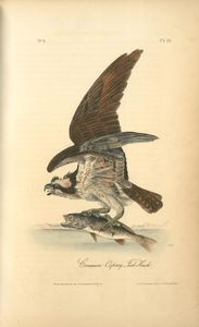 Common Osprey, Fish Hawk