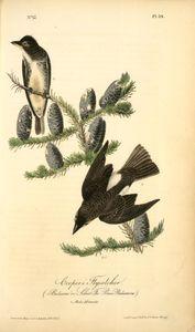 Cooper's Flycatcher, 1. Male, 2. Female. (Balsam or Silver Fir. Pinus Balsamea)