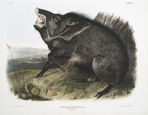 Dycoteles torquatus, Collared Peccary