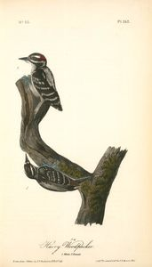 Hairy Woodpecker. 1. Male. 2. Female
