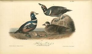 Harlequin Duck. 1. old Male. 2. Female. 3. Young male