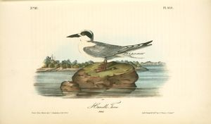 Havell's Tern. Adult