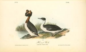 Horned Grebe. 1. Adult Male. 2. Female in Winter