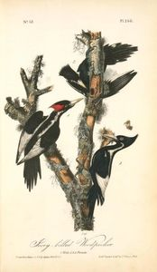 Ivory-billed Woodpecker. 1. Male. 2. & 3. Female