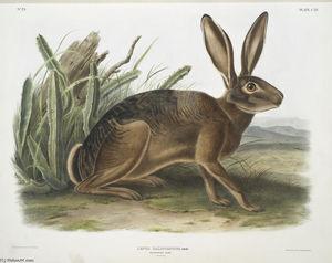 Lepus californicus, Californian Hare. Natural size