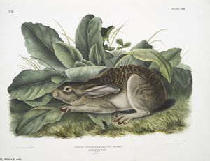 Lepus negricaudatus, Black-tailed Hare. Male. Natural size