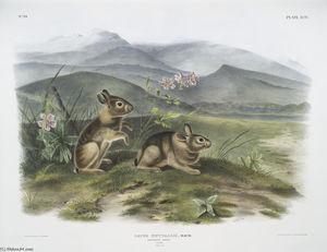 Lepus nuttallii, Nuttall's Hare
