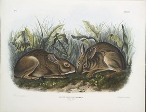 Lepus palustris, Marsh Hare. Natural size