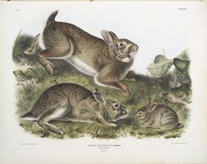 Lepus Sylvaticus, Grey Rabbit. Natural size. Old & young