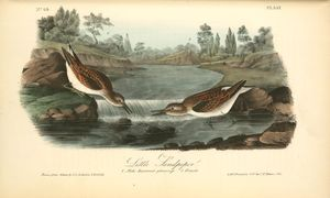 Little Sandpiper. 1. Male. Summer plumage. 2. Female