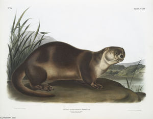 Lutra Canadensis, Canada Otter