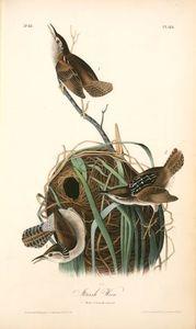Marsh Wren. 1. Male. 2. Female and nest